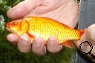 One of our many Koi Carp Hybrids